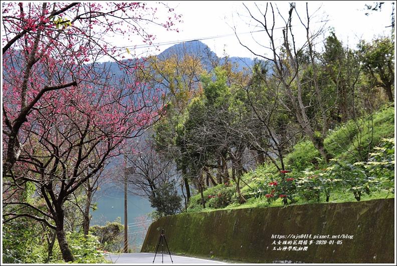 玉山神學院櫻花-2020-01-15.jpg