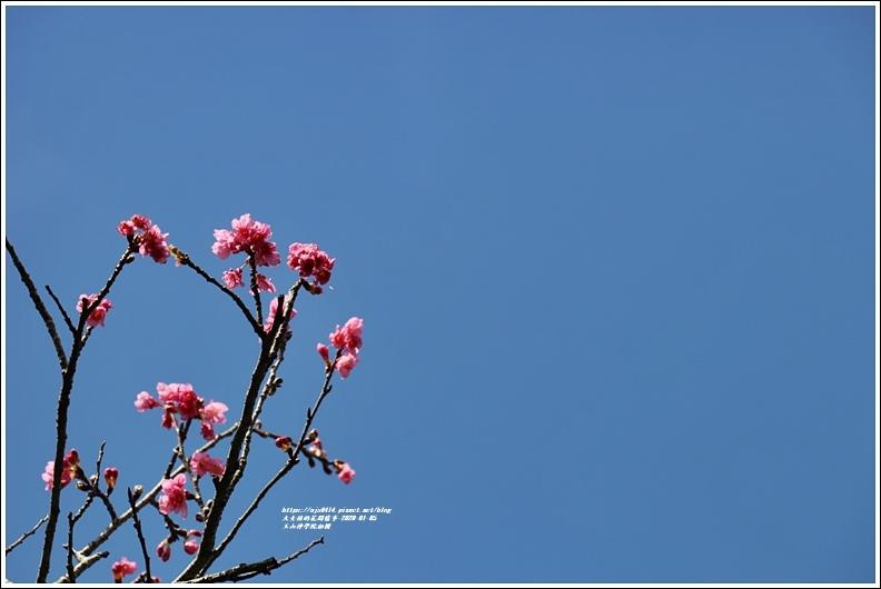 玉山神學院櫻花-2020-01-24.jpg