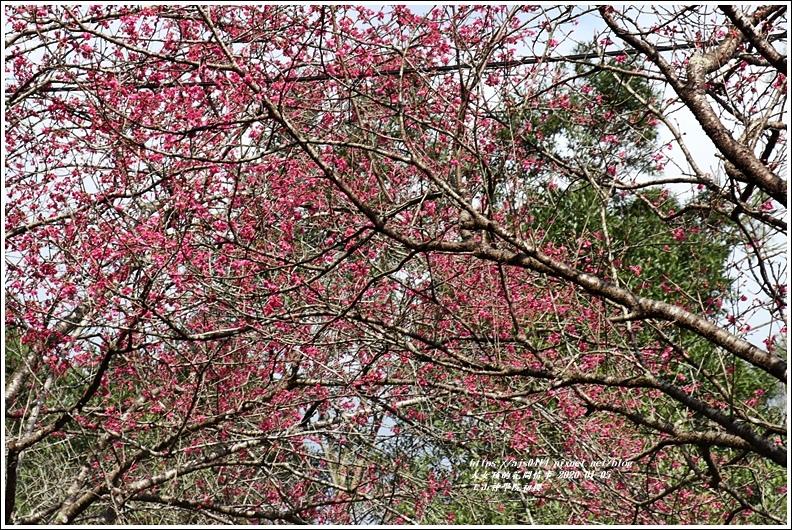 玉山神學院櫻花-2020-01-22.jpg