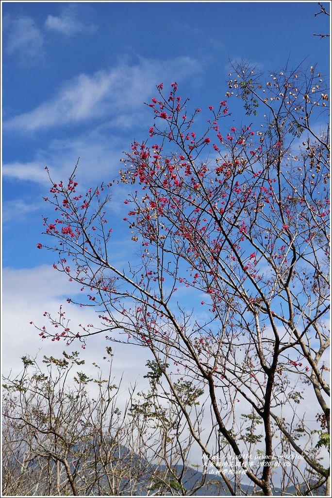 玉山神學院櫻花-2020-01-31.jpg