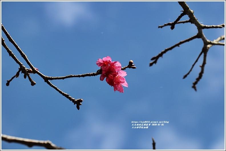 玉山神學院櫻花-2020-01-33.jpg