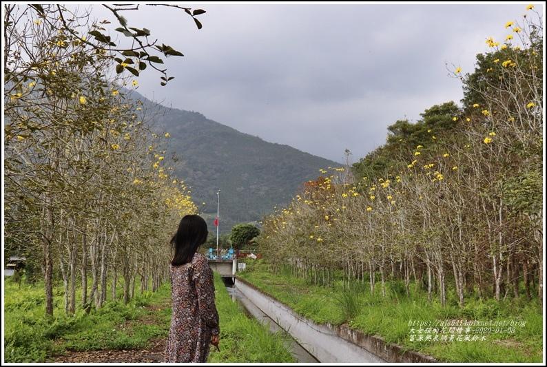 富源興泉圳黃花風鈴木-2020-01-04.jpg