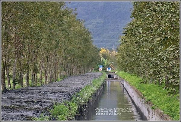 富源興泉圳黃花風鈴木-2020-01-06.jpg
