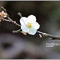 富里羅山瀑布梅園-2020-01-04.jpg