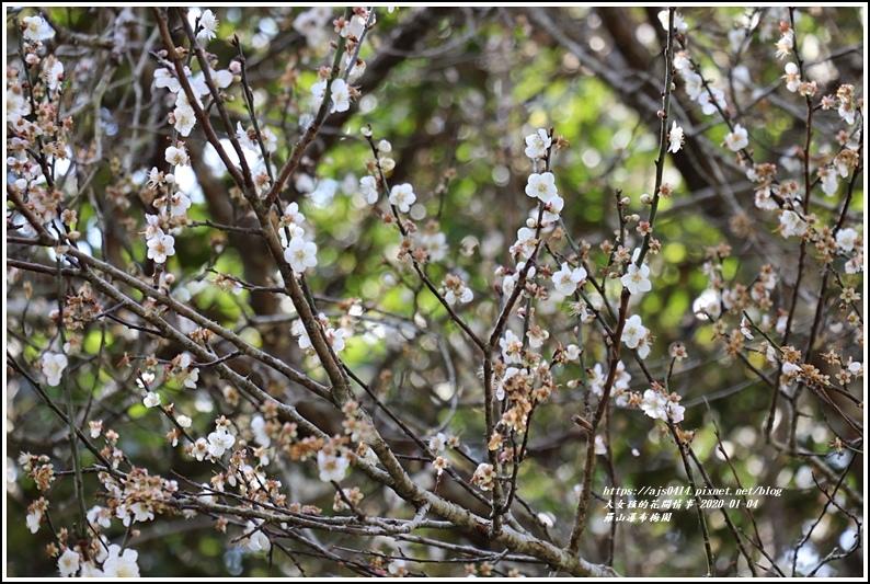富里羅山瀑布梅園-2020-01-03.jpg