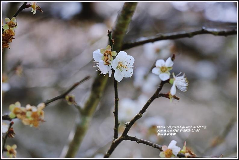 富里羅山瀑布梅園-2020-01-08.jpg
