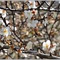 富里羅山瀑布梅園-2020-01-14.jpg