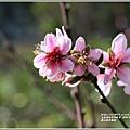富里羅山瀑布梅園-2020-01-18.jpg