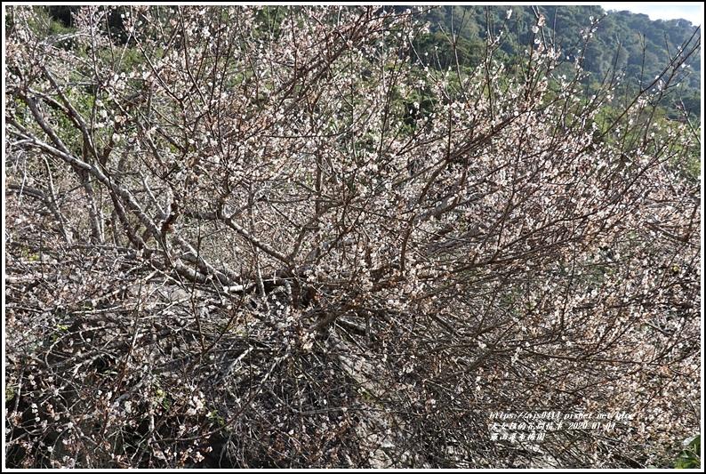 富里羅山瀑布梅園-2020-01-15.jpg