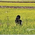 富里油菜花田-2020-01-11.jpg