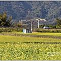富里油菜花田-2020-01-19.jpg