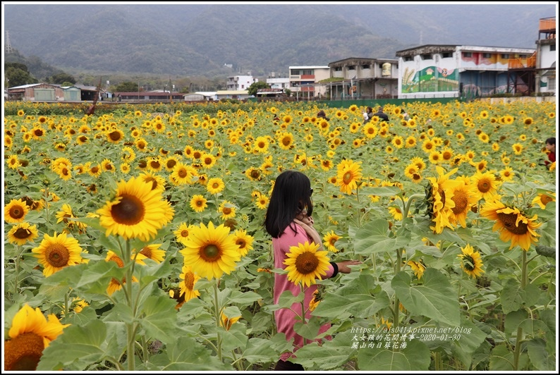 關山(米國學校)向日葵花海-2020-01-06.jpg