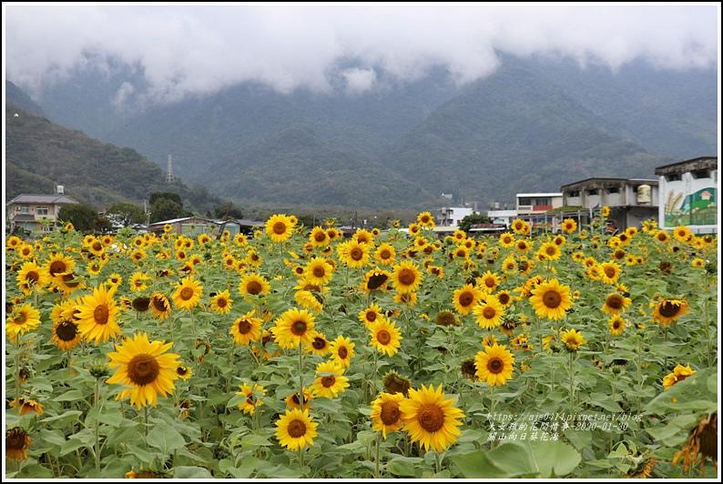 關山(米國學校)向日葵花海-2020-01-01.jpg