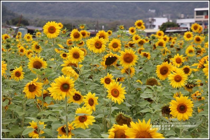 關山(米國學校)向日葵花海-2020-01-02.jpg