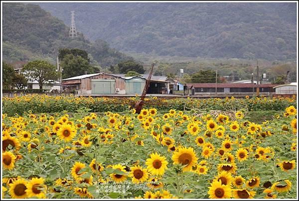 關山(米國學校)向日葵花海-2020-01-08.jpg