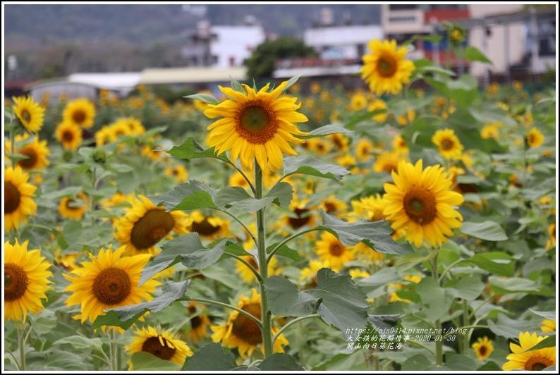 關山(米國學校)向日葵花海-2020-01-21.jpg