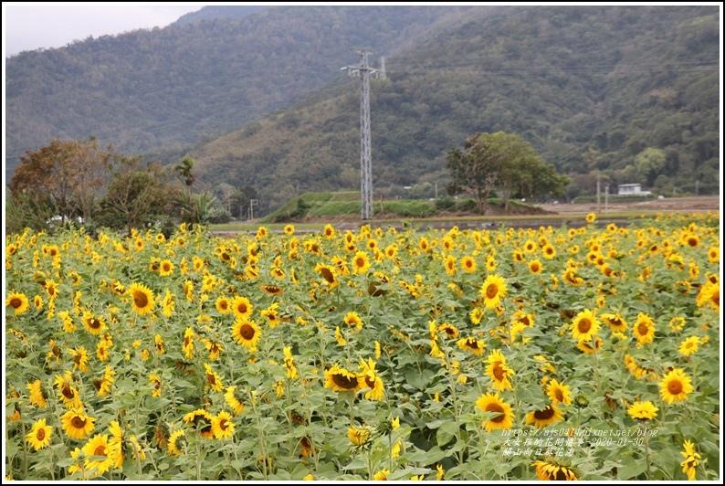 關山(米國學校)向日葵花海-2020-01-22.jpg