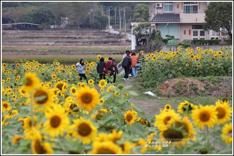 關山(米國學校)向日葵花海-2020-01-29.jpg
