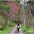 鳳林櫻花步道-2020-02-01.jpg