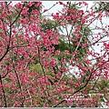 鳳林櫻花步道-2020-02-13.jpg
