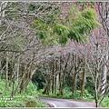 鳳林櫻花步道-2020-02-11.jpg