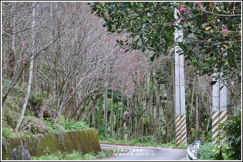 鳳林櫻花步道-2020-02-07.jpg