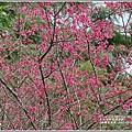 鳳林櫻花步道-2020-02-14.jpg