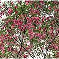 鳳林櫻花步道-2020-02-31.jpg
