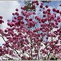 舞鶴梔苑茶莊洋紅風鈴木-2020-03-04.jpg