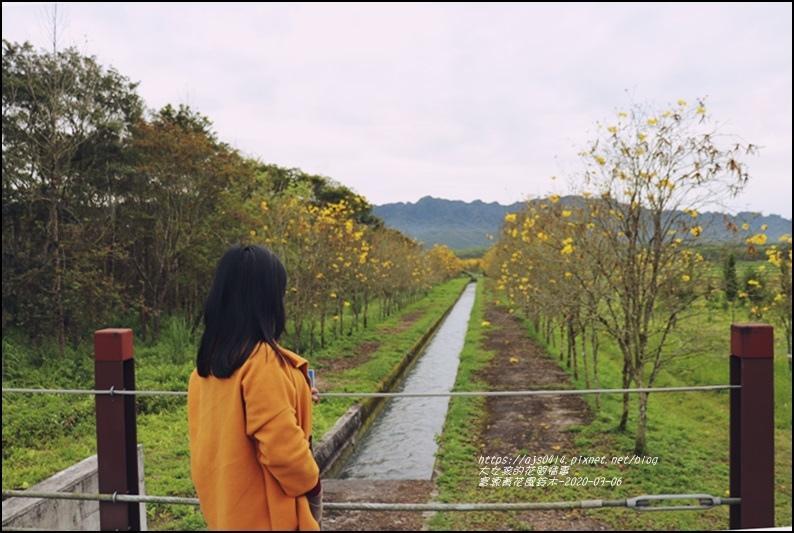 富源黃花風鈴木-2020-03-36.jpg