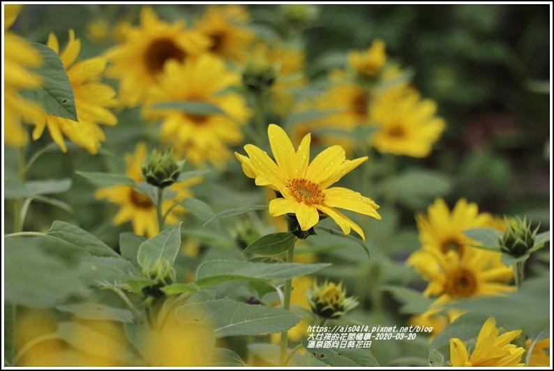 溫泉路向日葵花田-2020-03-25.jpg