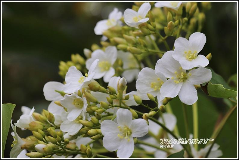 富源桐花-2020-03-05.jpg