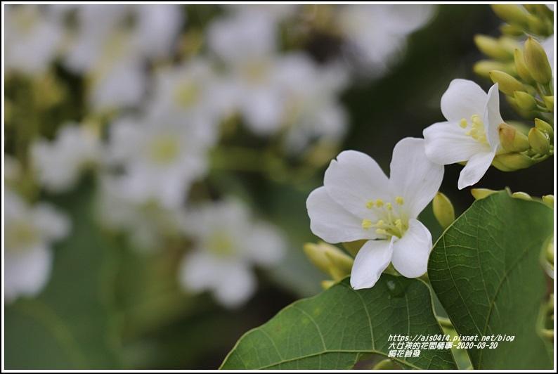 富源桐花-2020-03-03.jpg