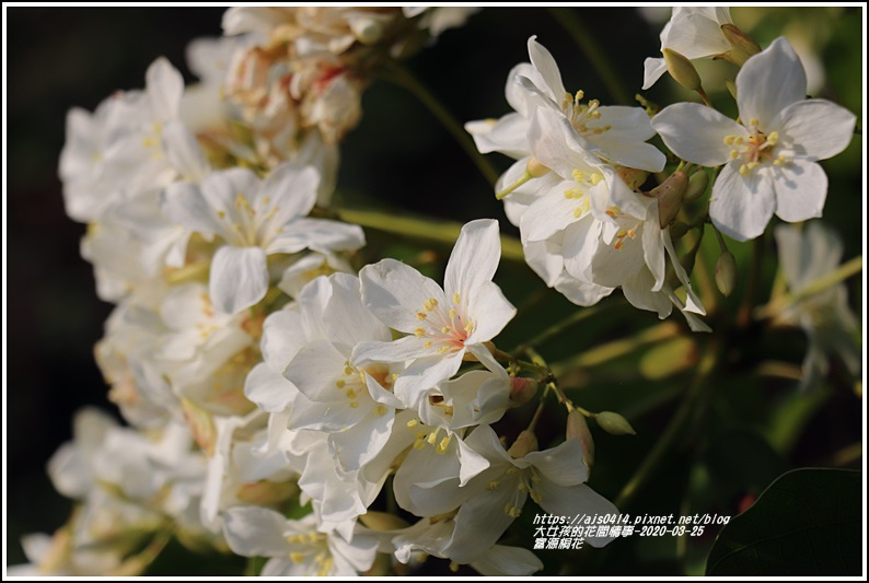 富源桐花-2020-03-20.jpg