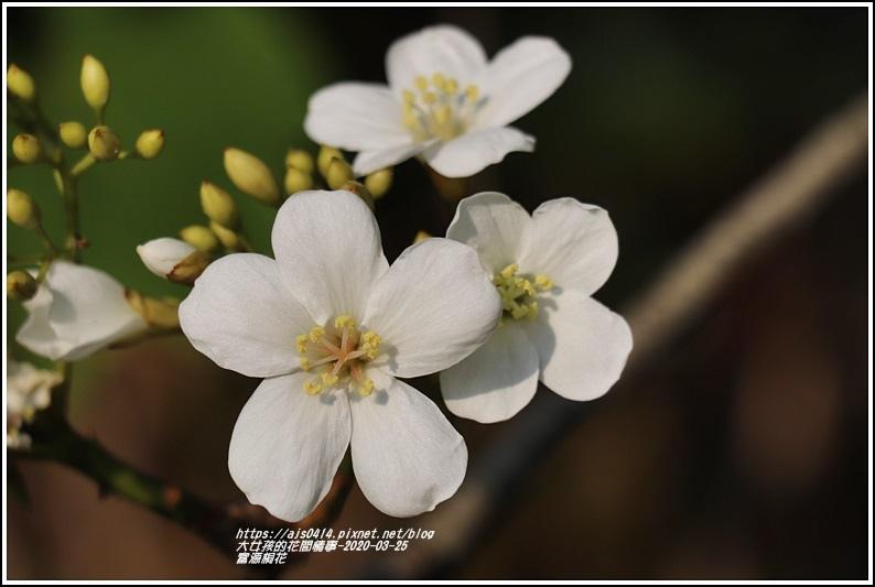 富源桐花-2020-03-29.jpg
