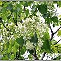 花蓮林務局南華工作站桐花-2020-03-04.jpg