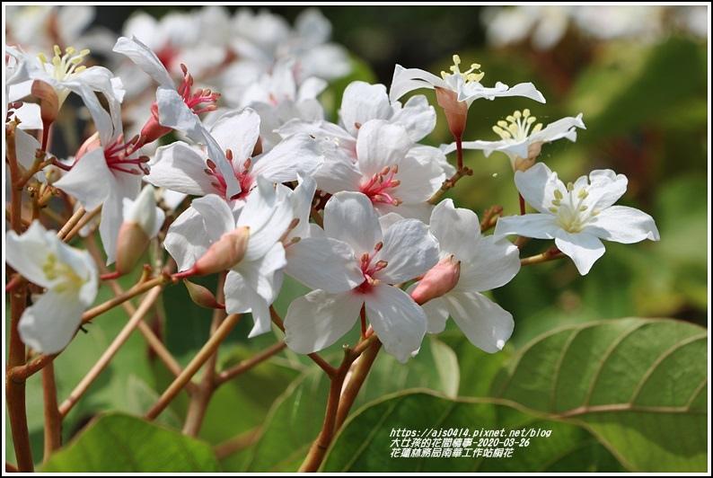 花蓮林務局南華工作站桐花-2020-03-16.jpg