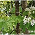 花蓮林務局南華工作站桐花-2020-03-26.jpg