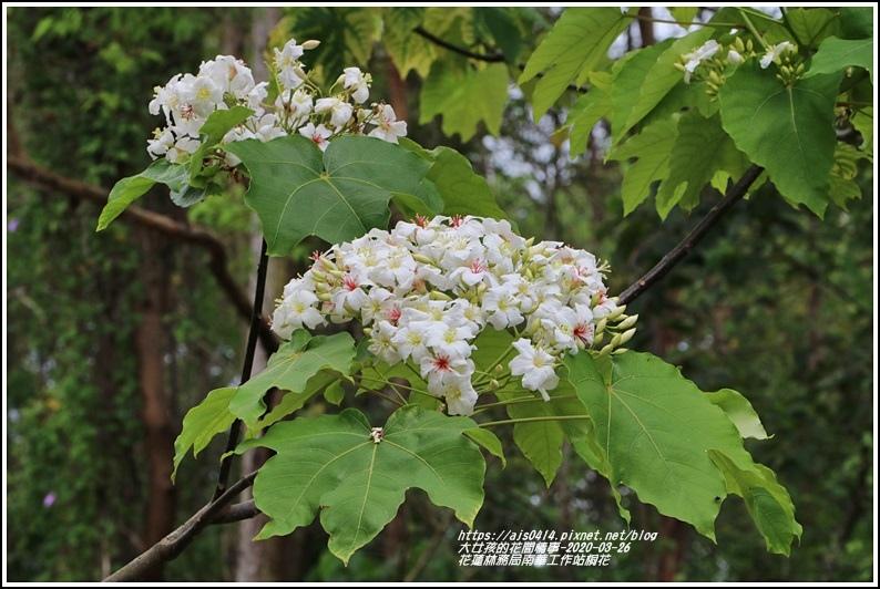 花蓮林務局南華工作站桐花-2020-03-37.jpg