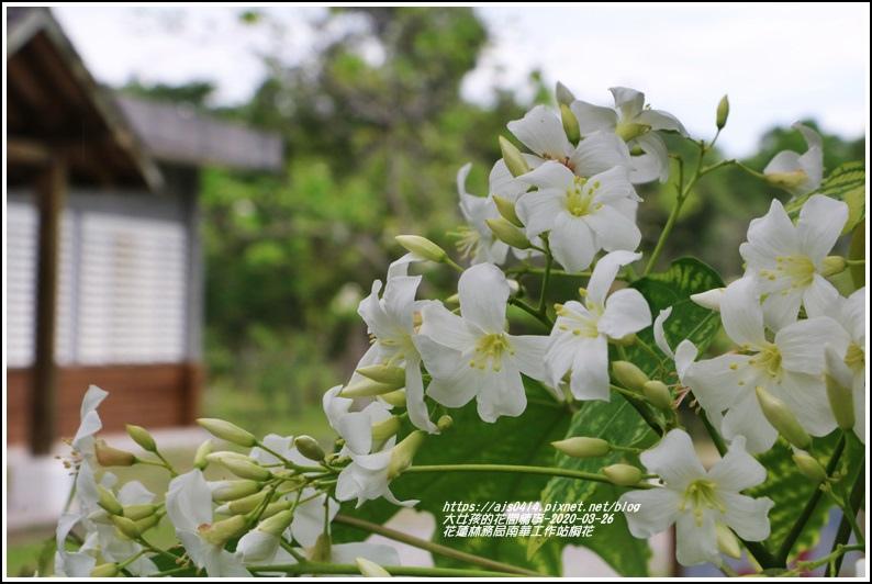 花蓮林務局南華工作站桐花-2020-03-68.jpg