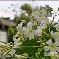 花蓮林務局南華工作站桐花-2020-03-69.jpg