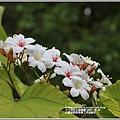 花蓮林務局南華工作站桐花-2020-03-73.jpg