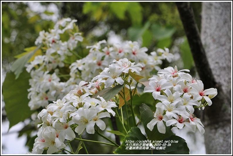 花蓮林務局南華工作站桐花-2020-03-77.jpg