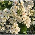 瑞穗河堤桐花-2020-03-03.jpg