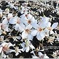 瑞穗河堤桐花-2020-03-01.jpg