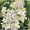 瑞穗河堤桐花-2020-03-08.jpg