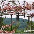 萬榮社區停車場花旗木-2020-04-05.jpg