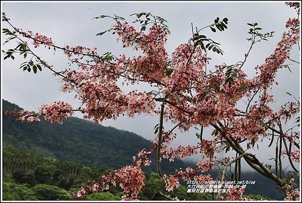 萬榮社區停車場花旗木-2020-04-03.jpg
