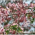 萬榮社區停車場花旗木-2020-04-07.jpg