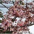 萬榮社區停車場花旗木-2020-04-14.jpg